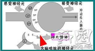 吗啡的原理_吗啡泵的工作原理   鞘内吗啡泵的工作原理是将一根极细的硅胶导管通过穿刺针放入患者腰部的蛛网膜下腔(鞘内),导管的另一端埋藏在患者的皮